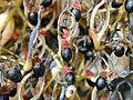 Starr 010714-0009 Bocconia frutescens.jpg