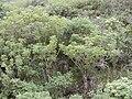 Starr 010820-0022 Schefflera actinophylla.jpg