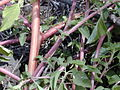 Starr 030424-0089 Amaranthus hybridus.jpg