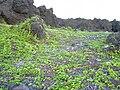 Starr 030716-0081 Jacquemontia ovalifolia subsp. sandwicensis.jpg