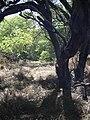 Starr 040902-0043 Prosopis pallida.jpg