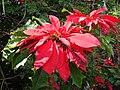 Starr 061201-1771 Euphorbia pulcherrima.jpg