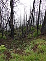 Starr 070908-9410 Sequoia sempervirens.jpg