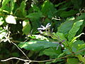Starr 071024-0148 Petraea volubilis.jpg