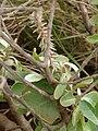 Starr 080209-2666 Achyranthes splendens var. splendens.jpg