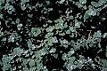 Starr 980529-4226 Helichrysum petiolare.jpg