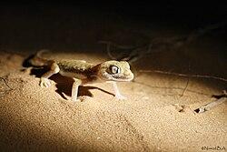 Stenodactylus sthenodactylus.jpg