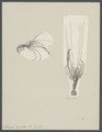 Stenopus hispidus - - Print - Iconographia Zoologica - Special Collections University of Amsterdam - UBAINV0274 097 10 0012.tif