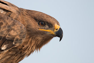 Steppe eagle - The gape of the steppe eagle is an easy way to distinguish it from the tawny eagle. The gape extends beyond the centre of the eye as against the tawny. The oval nostril sets it apart from the spotted eagles.