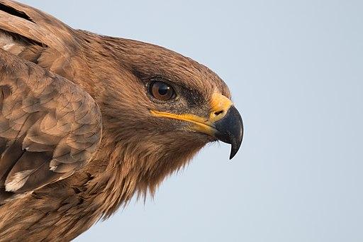 Steppe Eagle's Gape
