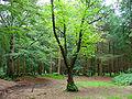 Sterrebosch in Westerbeeksloot Frederiksoord.jpg
