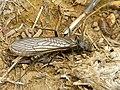 Stonefly (Plecoptera) (14482324946).jpg