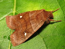 A brown moth sitting on a green leaf. On each wing is a set of three white spots with the center spot much larger than the others. The head appears furry and the wings are coppery brown with wavy patterns.
