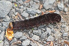 A dark brown caterpillar with a light brown head. It has small hairs or fine spines on each section.