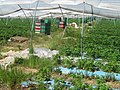 Strawberries ready to be picked - geograph.org.uk - 1321188.jpg