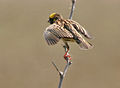 Streaked Weaver (Ploceus manyar) in display W2 IMG 6834.jpg
