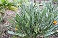 Strelitzia reginae var. Juncea 8zz.jpg
