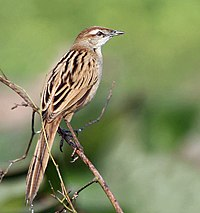 Striated Grassbird (Megalurus palustris) in Kolkata W IMG 3399.jpg