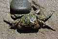 Striped Shore crab - Pachygrapsus crassipes (27808562627).jpg