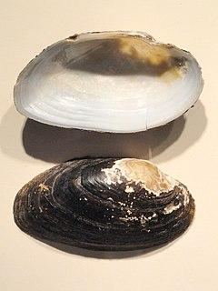 <i>Strophitus undulatus</i> Species of bivalve