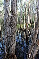 Submerged Melaleuca forest - protected wetland ecosystem 02.jpg