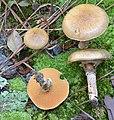 Suillus salmonicolor (Frost) Halling 668181.jpg