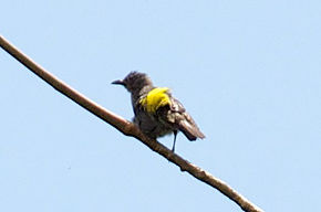 Description de l'image Sulfur-rumped Tanager - Panama - 5-31-12 - 2012-05-30at21-12-54 (8143006758).jpg.