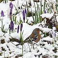 Sunday 10 March 2013 the winter came back again. Still spring crocusses in the garden with a chaffinch looking for food - panoramio.jpg
