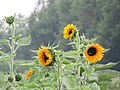 Sunflowers beneath the Rain near the Isar River Garching.jpg