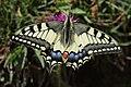 Swallowtail - Papilio machaon (20311536756).jpg