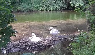 Boiling Springs, Pennsylvania - Swans nesting, a few yards downstream from The Bubble
