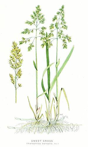 Sweet-Grass.jpg
