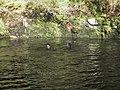 Swimmers in Sharrah Pool, River Dart - geograph.org.uk - 1003673.jpg