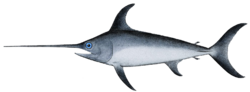 Swordfish-Xiphias gladius.png