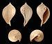 Sycostoma bulbiforme 01.JPG