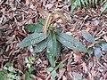 Syzygium bourdillonii-3-chemungi-kerala-India.jpg