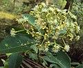 Syzygium caryophyllatum 32.JPG