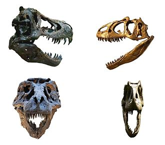 Tyrannosauridae - Tyrannosaurid (T. rex) and allosauroid (Allosaurus fragilis) skulls. Note the forward facing eye sockets of T. rex.