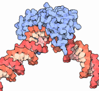 The transcription factor TATA binding protein (blue) bound to DNA (red).  Image by David S. Goodsell based on the crystal structure 1cdw from the Protein Data Bank.