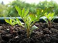Tagetes-grow3.jpg