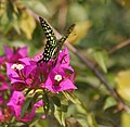 Tailed Jay (Graphium agamemnon) on a Bougainvillea species in Kolkata W IMG 3660.jpg