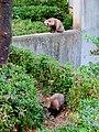 Tanuki in Higashiyama Zoo.jpg