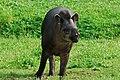 Tapirus terrestris 1.jpg
