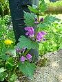 Taubnessel Blüten und Knospen.JPG