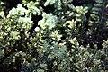 Taxus baccata Repandens 0zz.jpg
