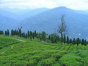 South Sikkim district - Image: Temi Tea Garden Ravangla