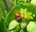 Ten spot Ladybird. Adalia decempunctata. - Flickr - gailhampshire.jpg