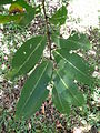 Terminalia arjuna leaves 01 by Line1.JPG