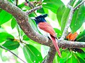 Terpsiphone paradisi. Indian paradise flycatcher.jpg