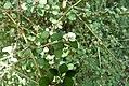 Teucridium parvifolium.jpg